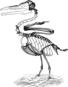 restoration of ichthyornis