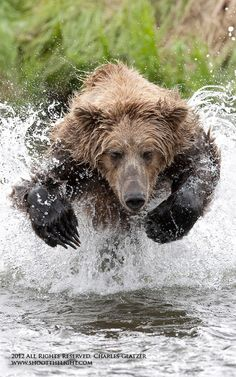 """Charging Brown Bear"" – Brooks Falls, Alaska – Charles Glatzer. Story: The image was taken ""during the summer salmon run.  Luckily the bear was young and slightly inept at catching salmon. After watching the bear miss a few opportunities, I knew the bear would return to the same spot to try its luck once again.  Positioning myself low to the water and directly across from the bear's last attempt... I was fortunate, firing a burst as the bear charged the pool it looked up just before diving…"