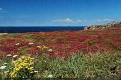 Lande en Fleur dans le Finistère - Pointe du Van, Finistère, Bretagne