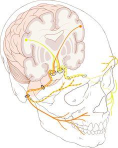 Cranial nerve VII - facialis.