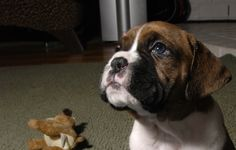 wikiHow to Train a Boxer Puppy -- via wikiHow.com