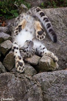 """Adorable Snow Leopard cub fell asleep, while he was playing."""
