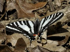 Butterfly - Zebra Swallowtail - forewings are white with black stripes and triangular-shaped; hindwings have a long tail.  The hind-wings are similar to the forewing - but with a red stripe bordered by black. The sexes are nearly alike...