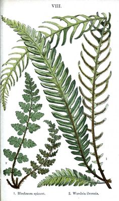 Botanical - Leaf - Fern, British Fern   (18)