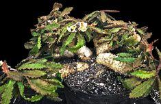 Euphorbia francoisii crassicaulis  #caudex #bonsai #raresucculent #rareplant #euphorbia #madagascarplant Succulent Bonsai, Planting Succulents, Paradise Found, Unusual Plants, Agaves, Cactus, Exotic, Herbs, Nursery