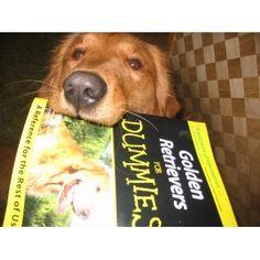 Golden Retriever for Dummies....Too Funny