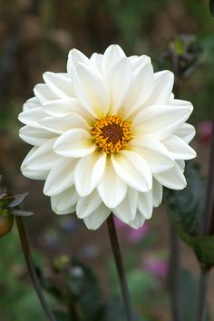 A semi-double dahlia, with creamy white flowers and purple-flushed foliage.