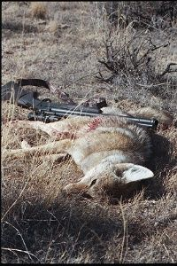 Photo of female coyote called in twice.