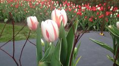 A tulip honouring Canada's birthday bash has been unveiled in Ottawa before their annual Tulip Festival Canada 150 Tulip, Happy Birthday Canada, I Am Canadian, Tulip Festival, Canada Day, Birthday Bash, Ottawa, Rose, Nature