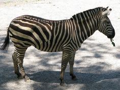 Zebra - Knoxville Zoo