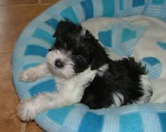 Black & White Parti Miniature Schnauzer Puppies from Destiny ...