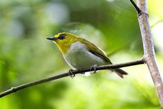 Black-ringed White-eye (Zosterops anomalus). Native to tropical and subtropical lowland forests in Indonesia. Photo taken on Sulawesi Island by Francesco Veronesi.