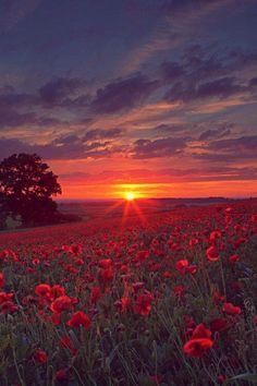 Coucher de soleil sur champs de coquelicot