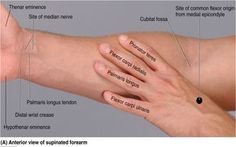 Mnemonics For Muscles Of Forearm Forearm Muscle Mnemonics - Anatomy Organ photo, Mnemonics For Muscles Of Forearm Forearm Muscle Mnemonics - Anatomy Organ image, Mnemonics For Muscles Of Forearm Forearm Muscle Mnemonics - Anatomy Organ gallery Forearm Anatomy, Wrist Anatomy, Hand Anatomy, Body Anatomy, Anatomy Organs, Human Anatomy And Physiology, Physical Therapy School, Occupational Therapy, Forearm Muscles