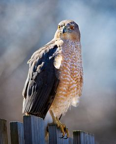 coopers hawk - there's one that lives or hangs out by our house!  I love seeing this hawk, it's just beautiful!  ~Staci
