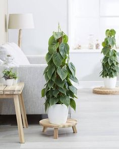 America's 12 Most Popular Houseplants According to Google Trends Water Plants Indoor, Best Indoor Plants, Philadendron Plant, Plant Leaves, Small Shrubs, Small Plants, Common Garden Plants, Philodendron Scandens, Office Plants