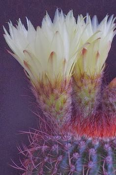 Tiny cactus, only about 10 cm in size including the flowers. Taken with my old Panagor macro lens on Pentax K-X. Unusual Flowers, Rare Flowers, Amazing Flowers, Beautiful Flowers, Beautiful Gorgeous, Agaves, Cacti And Succulents, Planting Succulents, Planting Flowers