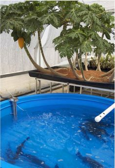 aquaponics can be indoors (with LED lights) or outdoors and allows you to harvest both fish and plants. -- this picture shows dwarf papaya (tropical fruit also called pawpaw) trees (perennial). the fish waste feeds the plants and the plants keep the water clean for the fish -- just the same as nature.