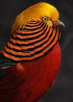 Chinese Golden Pheasant~