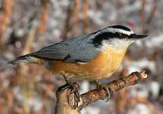 Bird of the Month: Red-breasted Nuthatch - The Rock Pile Garden Center