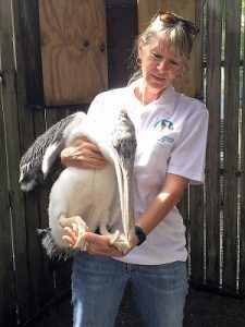 Now that baby bird season is finally (officially) behind us, the mayhem at Peace River Wildlife Center should be calming down a bit. But, of course, there is always something to fill the void. This week we have seen a number of unusual admissions. We got a nestling brown pelican transferred to us from Save Our Seabirds in Sarasota. The fact that is was transferred is not the unusual part,... Read the Full Story --> http://peaceriverwildlifecenter.org/strange-days-indeed/