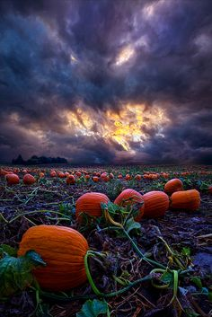 "https://flic.kr/p/pymY4j | Halloween is Near | Wisconsin Horizons by Phil Koch. Lives in Milwaukee, Wisconsin, USA. <a href=""http://phil-koch.artistwebsites.com"" rel=""nofollow"">phil-koch.artistwebsites.com</a> <a href=""https://www.facebook.com/MyHorizons"" rel=""nofollow"">www.facebook.com/MyHorizons</a> #halloween #pumpkins"