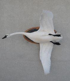 Waterfowl – Wings in Flight Bird Taxidermy