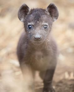 Little Tyke 🇿🇦 #africa #animals #adventure #explore #hyena #nature #wildlife #wild #wildlifephotography #travel #safari #wanderlust #sigmaphoto_sa