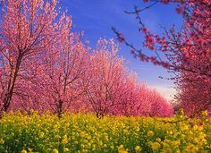 Peach Orchard in bloom.