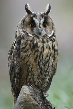 A Brief Introduction to the Common Types of Owls - Bird Eden Owl Photos, Owl Pictures, Planeta Animal, Long Eared Owl, World Birds, Owl Family, Felt Owls, Forest Creatures, Owls