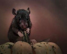 this-is-wild:  Halloween rat (Natalja Catzeflis)