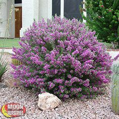 Green cloud sage - For a gorgeous splash of purple color. The garden is planned for color all year round. Cudos to Moon Nursery! (landscaping tips shrubs) Xeriscape, Plants, Front Yard Landscaping, Garden Shrubs, Outdoor Gardens, Shrubs, Outdoor Plants, Shrubs For Landscaping, Landscaping Shrubs