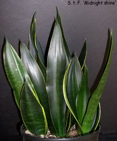 Sansevieria Trifasciata, Futura cultivar known as 'Midnight Shine'