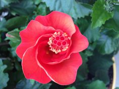 Pink hibiscus opening