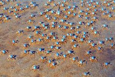 Blue soldier crabs in Port Stephens Photo by Donna G. - 2016 National Geographic Travel Photographer of the Year Types Of Photography, Amazing Photography, National Geographic Travel, Photo Competition, Crabs, Your Shot, Travel Photographer, Ranger, Around The Worlds
