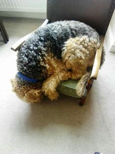 Airedales LOVE Tiny Beds!!