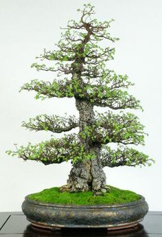 Cork Elm - beautifully styled by Jim Gremel. There are some other beautiful bonsai on this site...various types of Cedar Bonsai trees