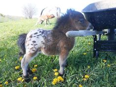 Now that's cute! Little miniature horse not even as high as a wheel barrel.