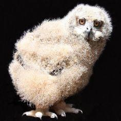 Look at the badonk on Caspian the Eurasian Eagle owlet!
