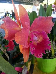 Extremely Rare Orchids   Sunset Cattleya.   ...but orchids are very rare.