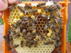 Honey bee queens highly vulnerable to two neonicotinoid insecticides...A research team from Bern, Switzerland and Wolfville, Canada has found that honey bee queens, which are crucial to colony functioning, are severely affected by two neonicotinoid insecticides. In 2013, governments in Europe moved to partially restrict the use of these neonicotinoids while further risks assessments could be performed. The province of Ontario, Canada followed suit in 2015... -- ScienceDaily