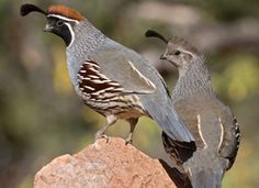 Birds - Gambel's Quail - my all time favorite Arizona Bird!  The male (left) and female are always together.  These humble birds are all around our neighborhood and enjoy our backyard bird resort :)