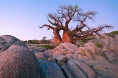 Kubu Island Baobab Makgadikgadi pans by Mark Dumbleton African Tree, Rock Formations, Its A Wonderful Life, Places To Visit, Island, Explore, World, Trees, Beautiful