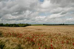 Poppies bloom amid wheat fields that were once the front line during World War I in Marne, France.