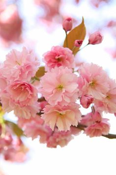 Cherry blossoms, Greenwich Park