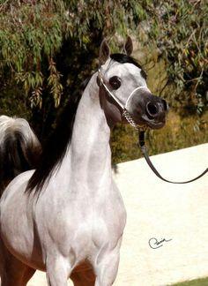 Arabhorse.com - Supreme Justice ORA - Oak Ridge Arabians - Arabian Horse