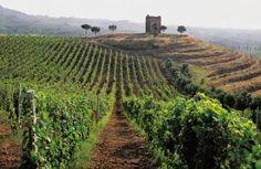 I vigneti dell'azienda vinicola Antiche Terre Tuscolane.