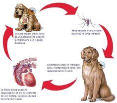 Avete un cane e un gatto? Occhio alla Filariosi, e non solo d'estate? Presente in due forme, cardio-polmonare e sottocutanea, si tratta di una malattia trasmessa dalle zanzare, potenzialmente letali per cani e gatti. L'unica arma efficace è la prevenzione mensile da mettere in atto per almeno nove mesi l'anno (da aprile/maggio a dicembre/gennaio)