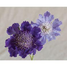 """Fama Deep Blue """"Scabiosa"""" zone 3-7 greenhouse grown"""