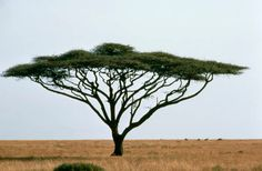 Acacia tortillis/Umbrella Thorn can be found in Mozambique, Botswana, Swaziland, Tranvaal, Orange Free State and the Cape.